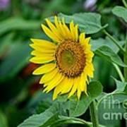 Beautiful Yellow Sunflower In Full Bloom Art Print