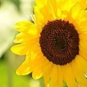 Beauty Beheld - Sunflower Art Print