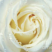 Beauty Of A White Rose Art Print