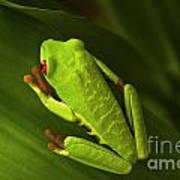 Beauty Of Tree Frogs Costa Rica 6 Art Print