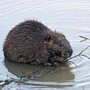 Beaver Chewing On Twig Art Print