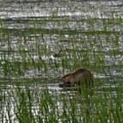Beaver On Rest Lake Print by Lizbeth Bostrom