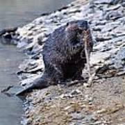 Beaver Sharpens Stick Art Print