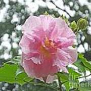 Bedazzled By The Light Louisiana Confederate Rose Art Print