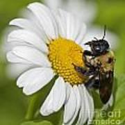 Bee And Daisy Art Print