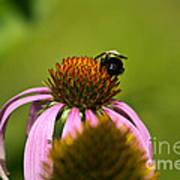 Bee And Echinacea Flower Art Print