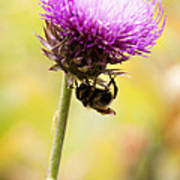 Bee And Thistle Art Print