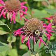 Bee Balm 5 Art Print