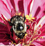 Bee Close Up On Pinkish Red Flower Art Print