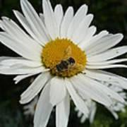 Bee Daisy Art Print