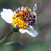 Bee- Extracting Nectar Art Print