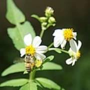 Bee-flower Pollen Art Print