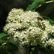 Bee Hovering Over Rowan Truss - Featured 3 Art Print