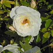 Bee In A White Rose Art Print by Kay Gilley