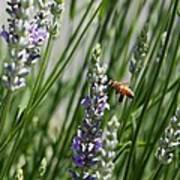 Bee In Lavender Art Print