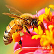 Bee Laden With Pollen 2 By Kaye Menner Art Print