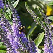 Bee Lavendar Art Print