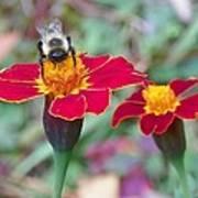 Bee On A Marigold 2 Art Print