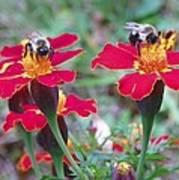 Bees On A Marigold 4 Art Print