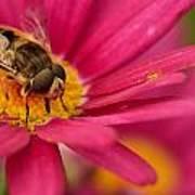 Bee On A Pink Daisy Art Print