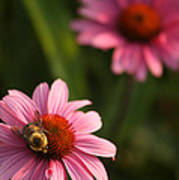Bee On Coneflower Art Print