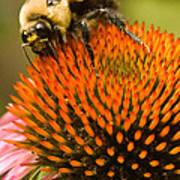 Bee On Coneflower Art Print