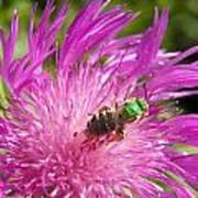 Bee On Corn Flower Art Print