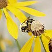 Bee On Flower Art Print
