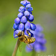 Bee On Grape Hyacinth Art Print