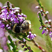 Bee On Heather Art Print