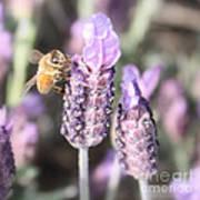 Bee On Lavender Square Art Print