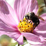 Bee On Pink Cosmos Art Print