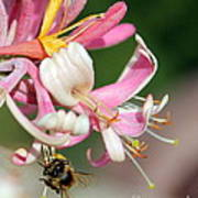 Bee On Pink Honeysuckle Art Print