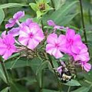 Bee On Pink Phlox Art Print