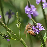 Bee On Purple Loosestrife  Art Print
