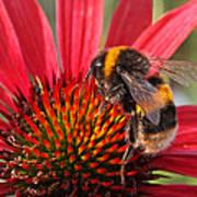 Bee On Red Coneflower 2 Art Print