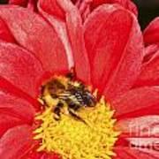 Bee On Red Dahlia Art Print