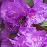 Bee On Rhododendrons Art Print