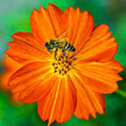 Bee On The Orange Cosmos 2 Art Print