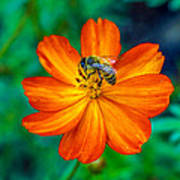 Bee On The Orange Cosmos Art Print