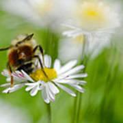 Bee The Daisy Art Print
