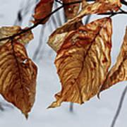 Beech Leaves Art Print