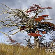 Beech Tree, Chile Art Print