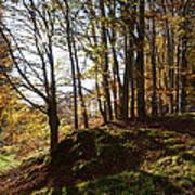 Beech Trees - Autumn Art Print