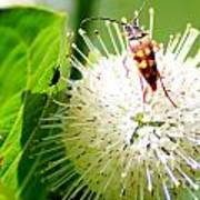 Beetle On Buttonbush Art Print