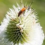 Beetle On White Spiky Wild Flower Art Print