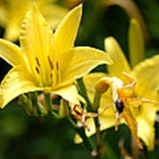 Beetle Resting On Yellow Lily Flower Art Print