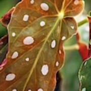 Begonia Maculata 'wightii' Art Print