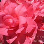 Begonia Named Non-stop Pink Art Print