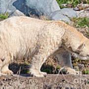 Beige Colored Polar Bear Art Print